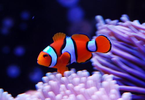 "Рыбка клоун Перкула ""оранж"", Немо (Amphiprion percula)"