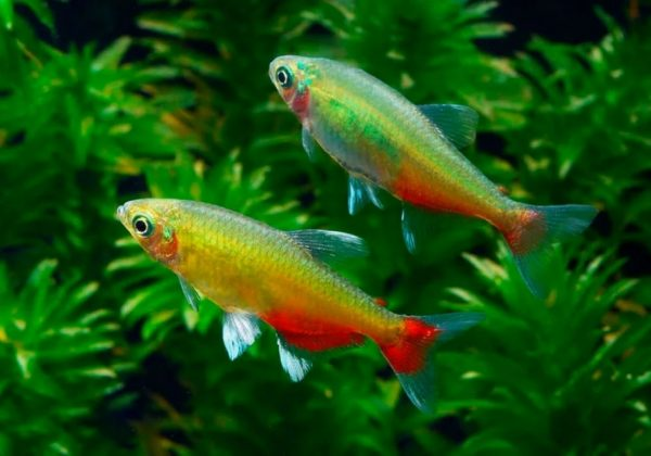 Афиохаракс ратбуни или рубиновый (Aphyocharax rathbuni)