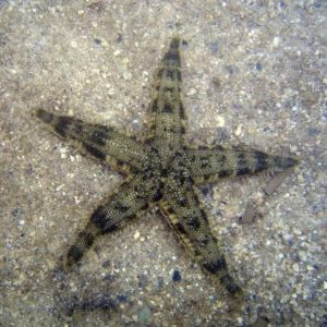 Песчаная морская звезда (Archaster Typicus)