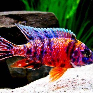 Аулонокара мультиколор (Aulonocara multicolor)