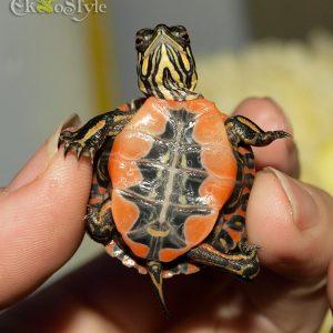 Западная расписная черепаха (Chrysemys picta bellii)