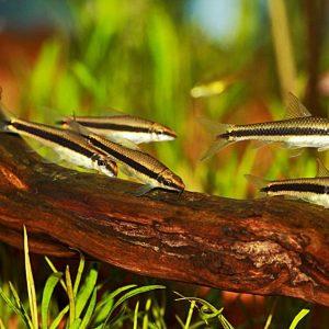 """Сиамский водорослеед """"SAE"""" (Crossocheilus siamensis)"""