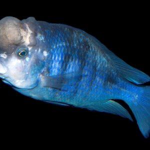 Голубой дельфин (Cyrtocara moorii)