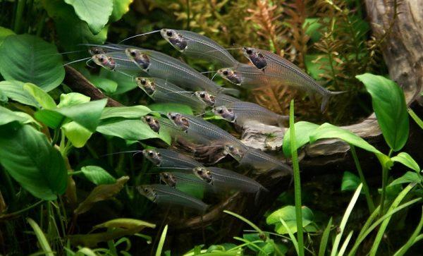 Стеклянный сом (Kryptopterus bicirrhis)