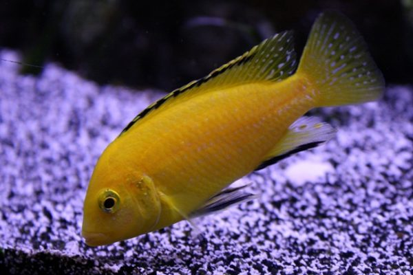Лабидохромис еллоу (Labidochromis caeruleus)