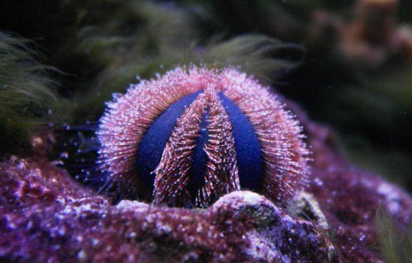 Еж арбузик (Mespilia globulus)