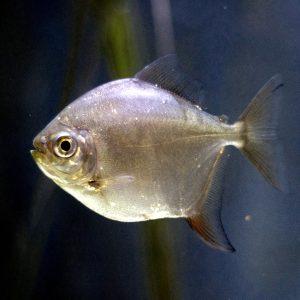 Метиннис серебристый, рыба-зеркало (Metynnis argenteus)