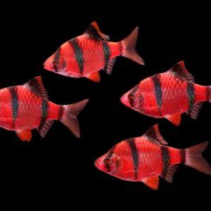 Барбус Glofish суматранский (Puntigrus tetrazona var.)