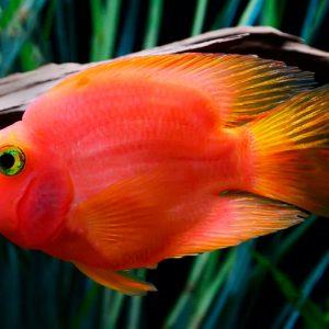 Рыба красный попугай (Red parrot cichlid)