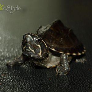 Мускуснаячерепаха(Sternotherus odoratus)