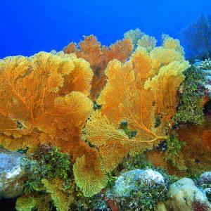 Горгонария, Морской веер (Subergorgia sp.)