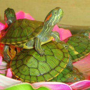 Черепаха красноухая (Trachemys scripta)