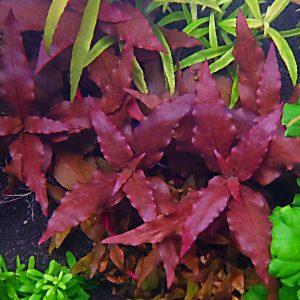 Альтернантера пурпурная (Alternanthera cardinalis)