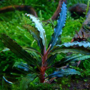 "Буцефаландра ""Вельвет"" (Bucephalandra sp. ""Velvet"")"