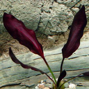 Эхинодорус афлейм (Echinodorus aflame)