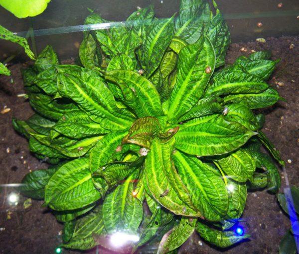 "Эхинодорус тропика (Echinodorus parviflorus ""Tropica"")"