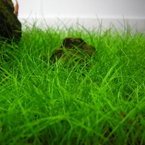 Элеохарис парвула мини (Eleocharis parvulus mini)