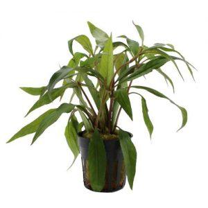"""Гигрофила иволистная красная (Hygrophila angustifolia var. """"rubra"""")"""