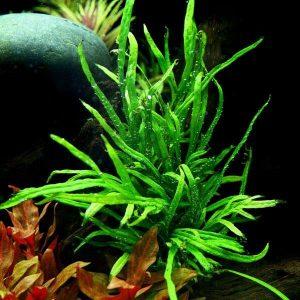"""Папоротник узколистный """"Трайдент"""" (Microsorum pteropus var. trident)"""