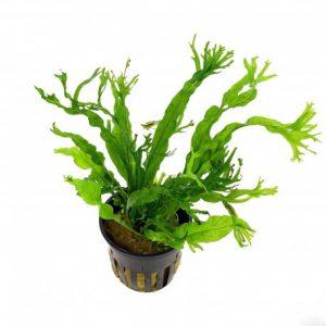 "Папоротник таиландский Винделова (Microsorum pteropus ""windelov"")"