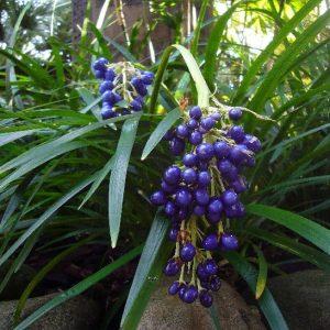 Офиопогон японский (Ophiopogon japonica)