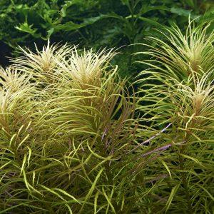 Погостемон звездчатый (Pogostemon stellatus)