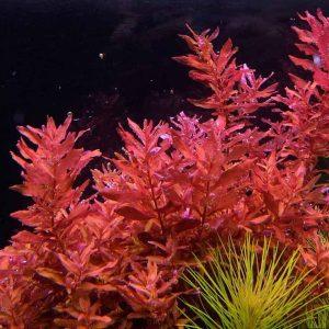 Ротала крупнотыМини пинк (Rotala macrandra mini pink)