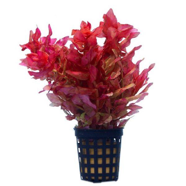 Ротала Мини пинк (Rotala macrandra mini pink)