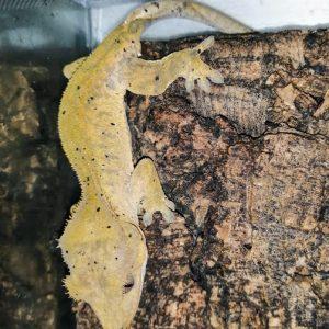Реснитчатый бананоед (Correlophus ciliatus)