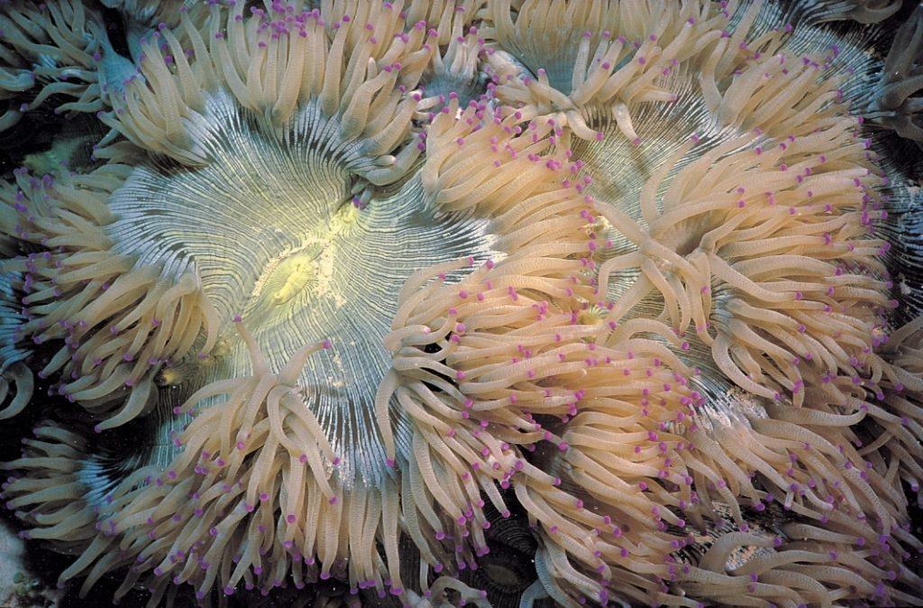 Элегантный коралл (Catalaphyllia jardinei)