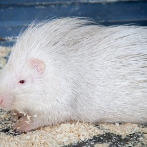 Индийский дикобраз (Hystrix indica) альбинос