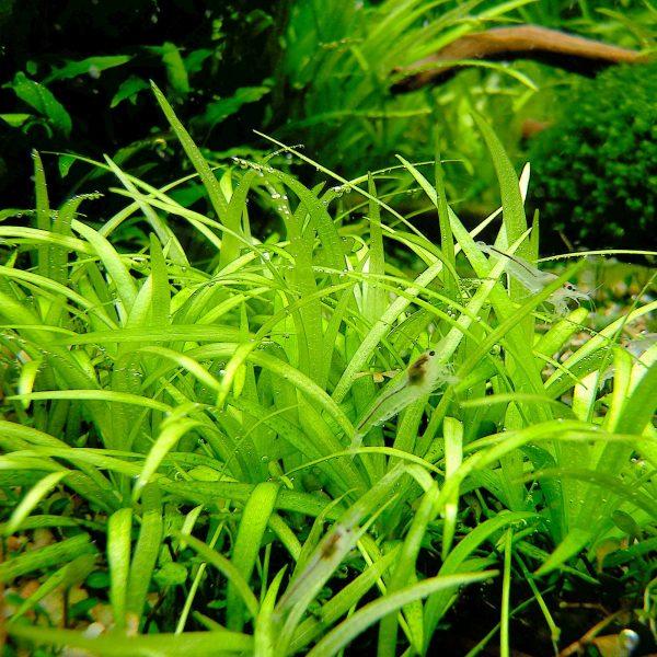 Эхинодорус нежный (Helanthium tenellum)