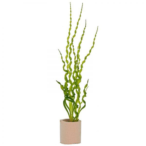 Эхинодорус «Везувий» (Helanthium 'Vesuvius')