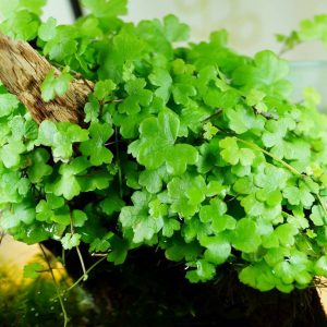 Щитолистник трёхраздельный (Hydrocotyle tripartita)