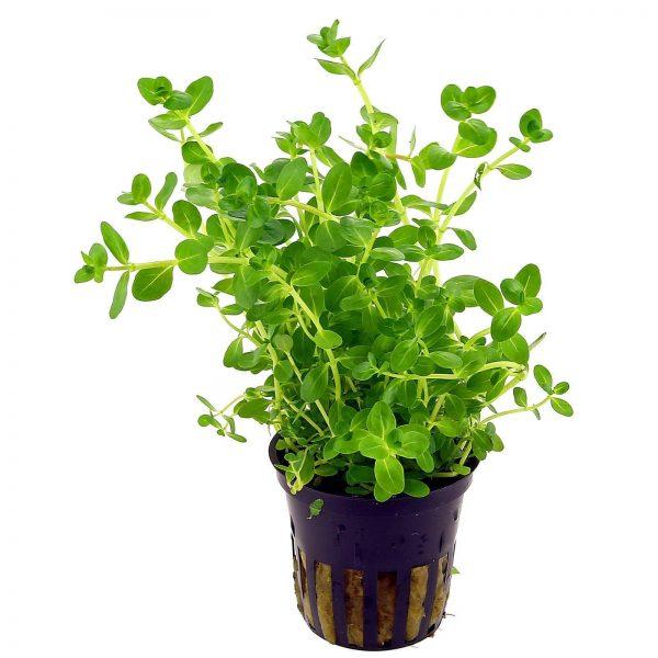 Линдерния круглолистная (Lindernia rotundifolia)
