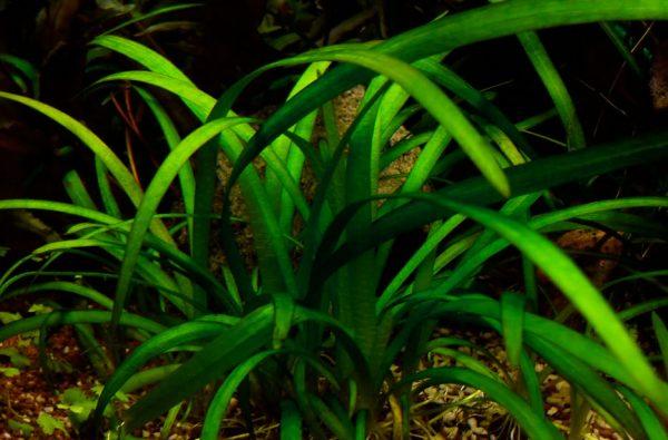 Саггитария или стрелолист шиловидный (Sagittaria subulata)