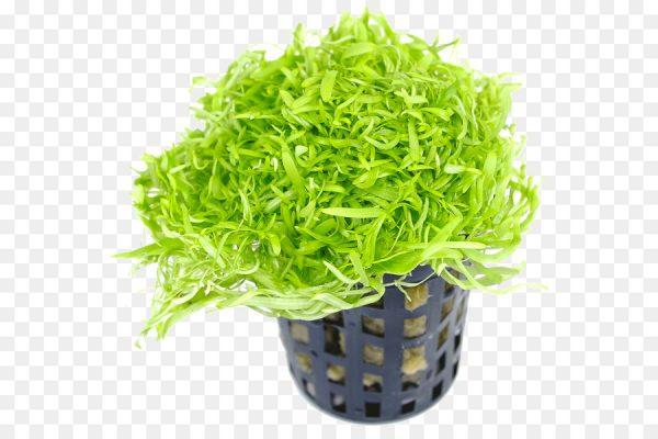 Пузырчатка азиатская (Utricularia graminifolia)