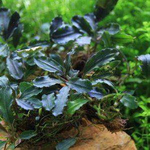 Буцефаландра брауни феникс браун (Bucephalandra brownie phoenix brown)