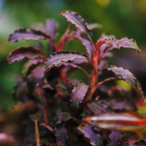 Буцефаландра Кедаганг (Bucephalandra sp. Kedagang)