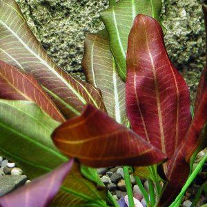 Эхинодорус Барта (Echinodorus barthii)