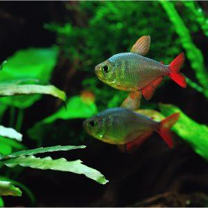 Тетра сапфировая, колумбийская тетра (Hyphessobrycon columbianus)