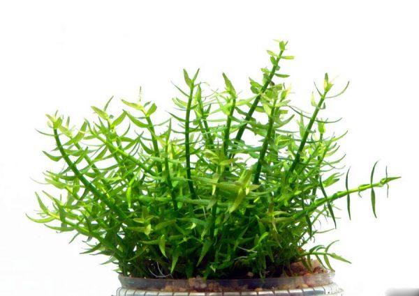 Гратиола висцидула (Gratiola viscidula)