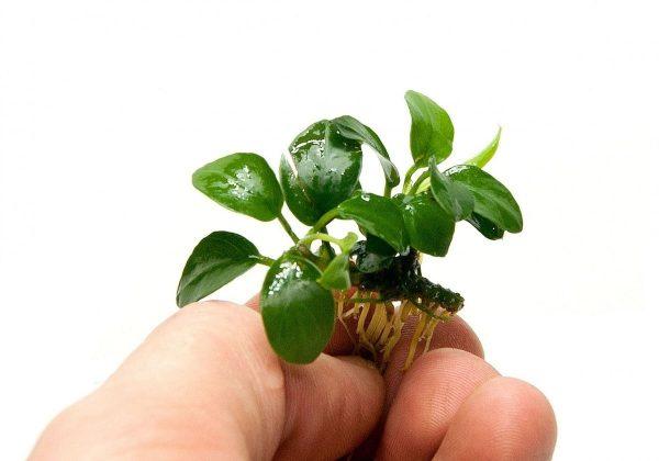 Анубиас бартера нана петит (Anubias nana petite)