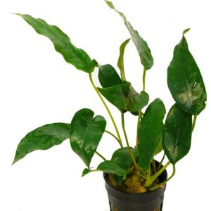 Анубиас Short & Sharp (Anubias sp. Short & Sharp)