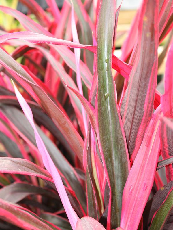Кордилина Рэд Эйдж (Cordyline Fruticosa Red Edge)