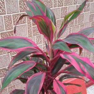 Кордилина Рэд Эйдж (Cordyline Fruticosa Red Edge)