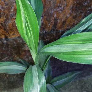 Драцена деремская (dracaena deremensis)