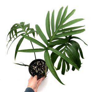 Амидриум (Amydrium zippelianum)