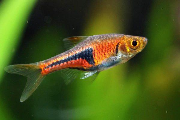 Расбора эспеи (Trigonostigma espei)