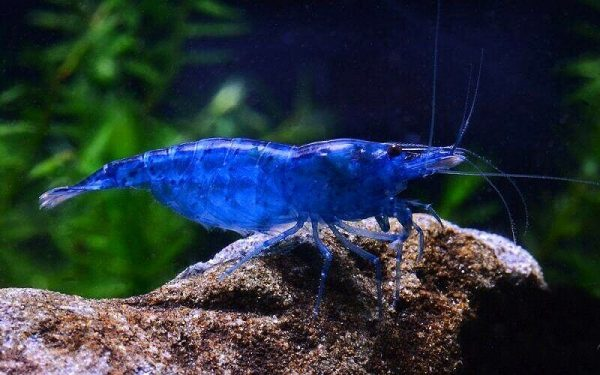 Креветка Голубая мечта (Neocaridina sp. Blue Dream)